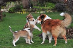American Collies Stock Photos