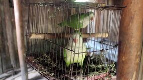 American common parrot