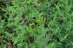 American common ragweed Stock Photo