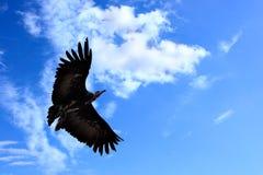 American condor Stock Images