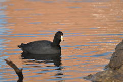 American Coot Royalty Free Stock Images