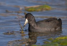American Coot Royalty Free Stock Image