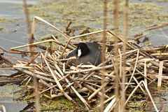 American Coot. Stock Photography