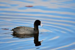 The american coot. Is swimming on the water in Barnaby lake. BC. Canada stock photography