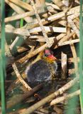 American Coot Baby Chick Royalty Free Stock Images