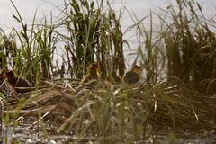 American Coot with baby in nest Royalty Free Stock Images