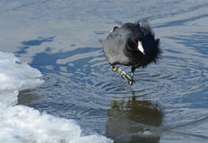 American Coot bird royalty free stock photography