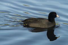 American Coot Blue Water Royalty Free Stock Photos