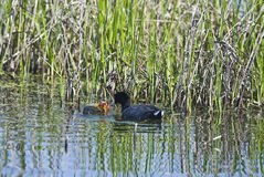 American Coot with young. Royalty Free Stock Image