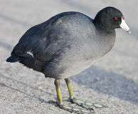 American Coot Stock Image