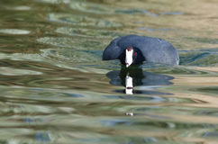 American Coot Crouching Low and Preparing to Attack. American Coot Crouching Low on the Water and Preparing to Attack Stock Photos