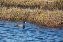 American Coot duck swimming. At Ecological Reserve in Orange County California on a sunny winter day Stock Image