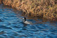American Coot duck swimming at Ecological Preserve in Orange County California. American Coot duck swimming at bird sanctuary in Orange County California on a Royalty Free Stock Photos