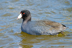 American Coot Stock Images