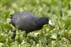 American coot, fulica americana. Portrait Royalty Free Stock Images