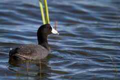 American Coot, Fulica americana Royalty Free Stock Photo
