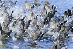 American coot, fulica americana Stock Images