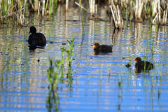 American Coot, Fulica americana Royalty Free Stock Photography