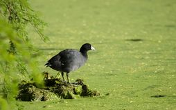 American Coot on duckweed swamp bog, Sweetwater Wetlands Tucson Arizona. American Coot, Fulica americana, also known as a mud hen, is a bird of the family Royalty Free Stock Image