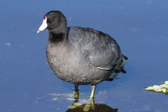 American Coot (Fulica americana) Royalty Free Stock Images