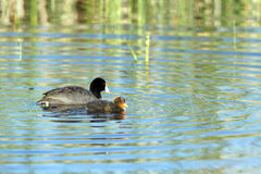 American Coot, Fulica americana Stock Photography