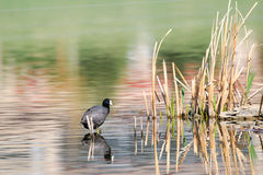 American Coot (Fulica americana) Royalty Free Stock Photo