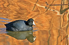 American Coot (Fulica americana). American coot and reflection at Bosque del Apache NWR in New Mexico Stock Photography