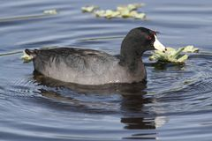 American Coot (Fulica americana) Stock Images