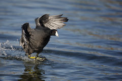 American coot, Fulica americana Stock Photos