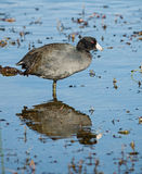 American Coot Stock Photos