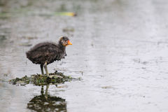 American Coot (Fulica americana) Royalty Free Stock Photos
