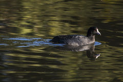 American Coot Green Water Royalty Free Stock Photos