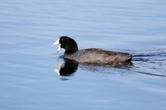 An American Coot with its beak open showing its tongue stock photography