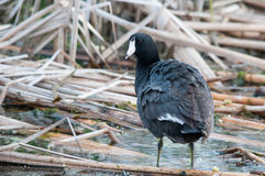 American Coot. In a marsh royalty free stock photography