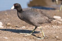 American coot on the Minnesota River during spring migrations - in the Minnesota Valley National Wildlife Refuge royalty free stock image