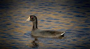 American Coot, the mud hen royalty free stock photos