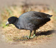 American Coot (Mud Hen) Royalty Free Stock Photography