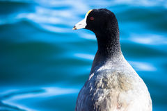American Coot Royalty Free Stock Photos