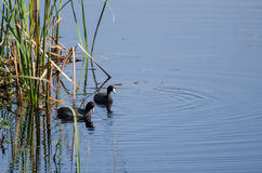 American Coot Pair, Savannah National Wildlife Refuge Royalty Free Stock Images
