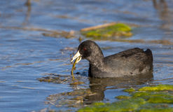 American coot in pond eating aquatic plants with algae and other Royalty Free Stock Photos