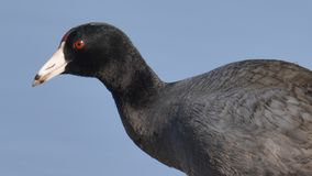 American coot portrait on the Minnesota River during spring migrations - in the Minnesota Valley National Wildlife Refuge royalty free stock photo