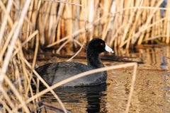 American Coot Stock Photography
