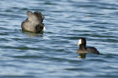 American Coot Preparing for an Attack Stock Images