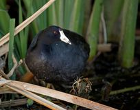 American Coot in the reeds Stock Image
