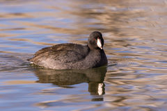 American Coot Reflected in lake Royalty Free Stock Image
