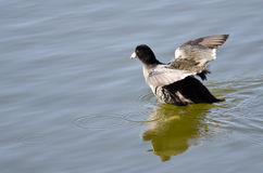 American Coot Rising up out of the Lake Water Stock Image