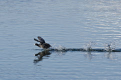 American Coot Sprinting Across the Water Royalty Free Stock Photo