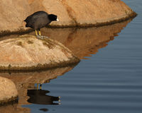 American Coot Staring Into The Water. An American Coot looking into the water of a southern California lake Stock Photos