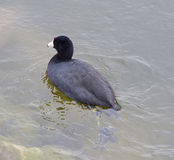 The American coot Stock Image