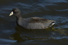 American Coot. Swimming across the water Royalty Free Stock Photo